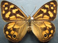 Adult Female Upper of Spotted Brown - Heteronympha paradelpha