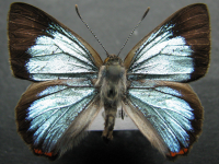 Adult Male Upper of Moonlight Jewel - Hypochrysops delicia delicia