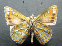 Adult Male Under of Turquoise Jewel - Hypochrysops halyaetus