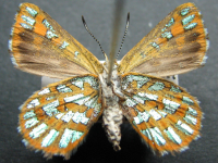 Adult Female Under of Turquoise Jewel - Hypochrysops halyaetus