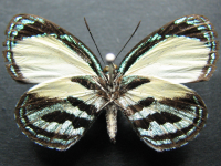 Adult Male Under of Green-banded Jewel - Hypochrysops theon johnsoni