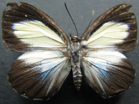 Adult Female Upper of Green-banded Jewel - Hypochrysops theon johnsoni