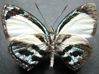 Adult Female Under of Green-banded Jewel - Hypochrysops theon johnsoni
