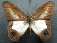 Adult Male Upper of Pied Ringlet - Hypocysta angustata angustata