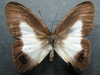 Adult Female Upper of Pied Ringlet - Hypocysta angustata angustata