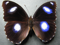 Adult Male Upper of Varied Eggfly - Hypolimnas bolina nerina