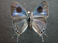 Adult Male Upper of Black-spotted Flash - Hypolycaena phorbas phorbas