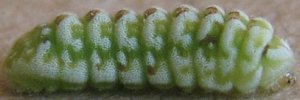 Ionolyce helicon hyllus - Final Larvae