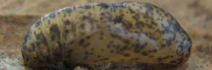 Pupae Side of Bronze Line-blue - Ionolyce helicon hyllus