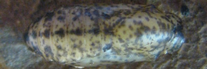 Pupae Top of Bronze Line-blue - Ionolyce helicon hyllus