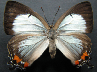 Adult Female Upper of Imperial Hairstreak - Jalmenus evagoras evagoras