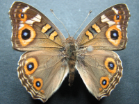 Adult Male Upper of Meadow Argus - Junonia villida calybe