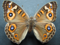 Adult Female Upper of Meadow Argus - Junonia villida calybe