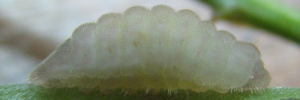 Final Larvae Side of Long-tailed Pea-blue - Lampides boeticus