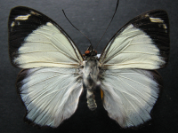Adult Male Upper of Jezebel Nymph - Mynes geoffroyi guerini