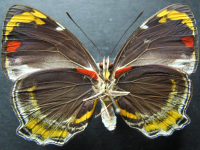 Adult Male Under of Jezebel Nymph - Mynes geoffroyi guerini