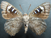 Adult Male Under of Small Bronze Azure - Ogyris otanes