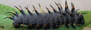 Early Larvae Side of Northern Birdwing - Ornithoptera priamus euphorion