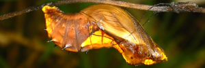 Pupae Side of Northern Birdwing - Ornithoptera priamus euphorion
