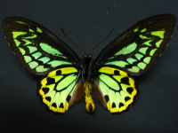 Adult Male Under of Richmond Birdwing - Ornithoptera richmondia