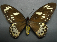 Adult Female Upper of Richmond Birdwing - Ornithoptera richmondia