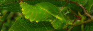 Pupae Side of Richmond Birdwing - Ornithoptera richmondia