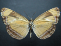 Adult Male Under of Orange Plane - Pantoporia consimilis consimilis