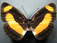 Adult Female Upper of Orange Plane - Pantoporia consimilis consimilis