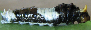 Early Larvae Side of Ambrax Swallowtail - Papilio ambrax egipius