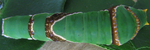 Final Larvae Top of Ambrax Swallowtail - Papilio ambrax egipius
