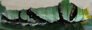 Later Larvae Side of Ambrax Swallowtail - Papilio ambrax egipius