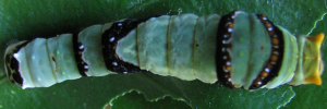 Later Larvae Top of Ambrax Swallowtail - Papilio ambrax egipius