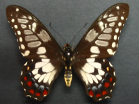 Adult Male Upper of Dainty Swallowtail - Papilio anactus