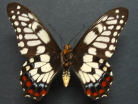 Adult Male Under of Dainty Swallowtail - Papilio anactus