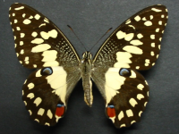 Adult Female Upper of Chequered Swallowtail - Papilio demoleus sthenelus