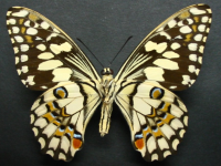 Adult Female Under of Chequered Swallowtail - Papilio demoleus sthenelus
