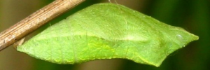 Pupae Side of Chequered Swallowtail - Papilio demoleus sthenelus