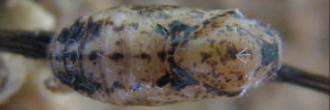 Pupae Top of Mauve Line-blue - Petrelaea tombugensis