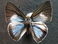 Adult Male Upper of Blue Moonbeam - Philiris nitens lucina