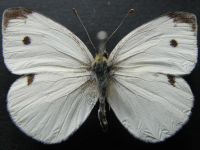 Adult Male Upper of Cabbage White - Pieris rapae