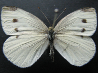 Adult Female Upper of Cabbage White - Pieris rapae