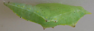 Pupae Side of Cabbage White - Pieris rapae