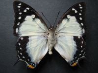 Adult Male Upper of Tailed Emperor - Polyura sempronius sempronius