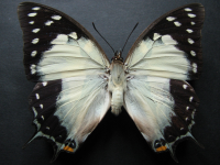 Adult Female Upper of Tailed Emperor - Polyura sempronius sempronius