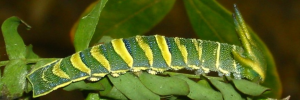 Final Larvae Side of Tailed Emperor - Polyura sempronius sempronius
