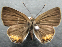 Adult Female Upper of Dark Forest-blue - Pseudodipsas eone iole