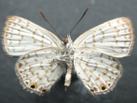 Adult Female Under of Dark Forest-blue - Pseudodipsas eone iole