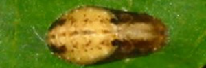 Pupae Top of Small Green-banded Blue - Psychonotis caelius taygetus