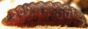 Final Larvae Side of Cycad Blue - Theclinesthes onycha capricornia
