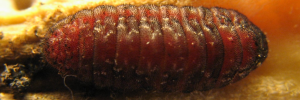 Final Larvae Top of Cycad Blue - Theclinesthes onycha capricornia